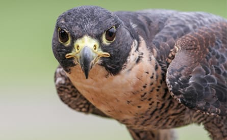 Provings School Of Homeopathy Falcon Falco Peregrinus