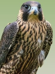Picture of falcon