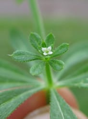 Picture of Goosegrass