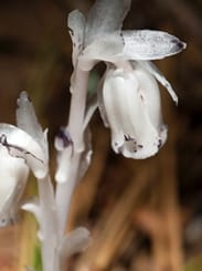 Indian Pipe Plant 1