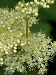 Meadowsweet Picture