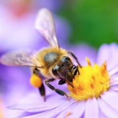 Apis - homeopathic remedy picture