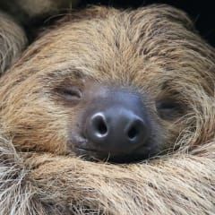Proving of Sloth - a new homeopathic remedy
